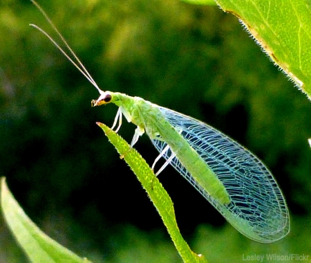 lacewing_800.jpg