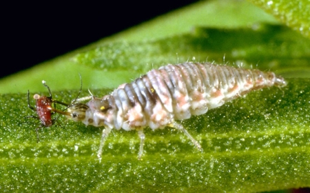 green_lacewing_larvae.jpg