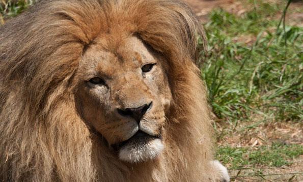 img_lion_sg_large.jpg