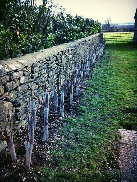 hedge planting .jpg
