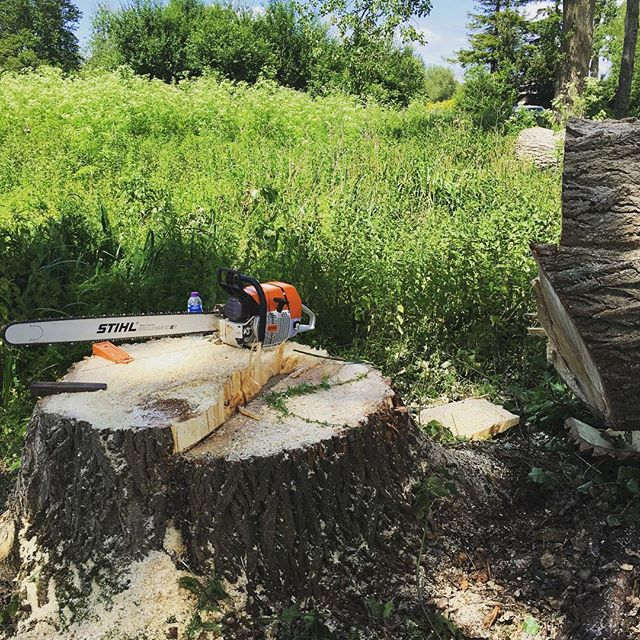 Poplar felling in the summer. #stihl #treesurgeon #forestry