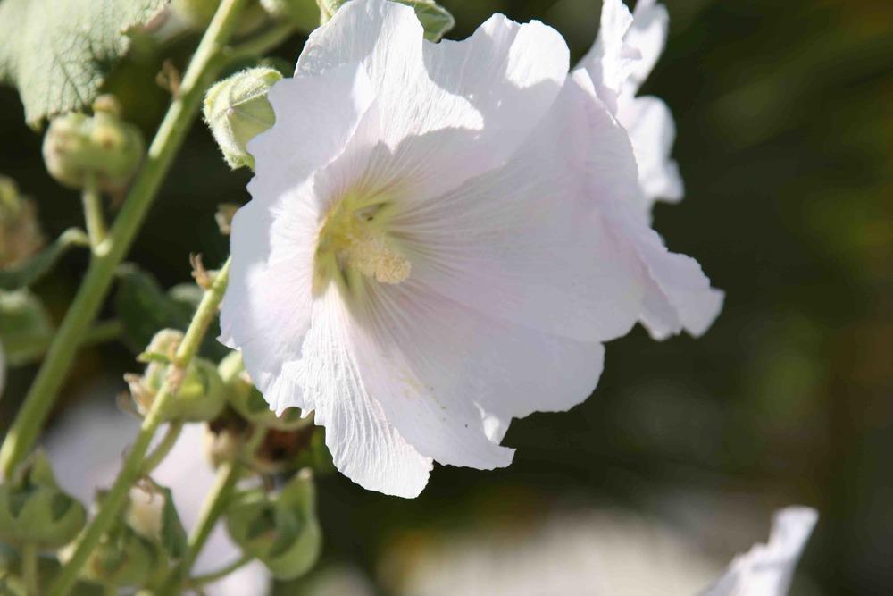 Rose trémière blanche rhétaise