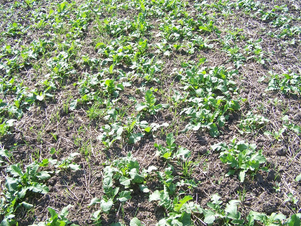 Early Summer Mixture Cover Crop