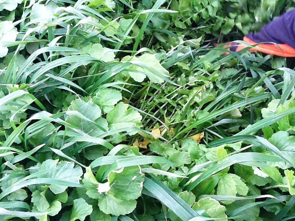 Late Summer Mixtures Cover CRops