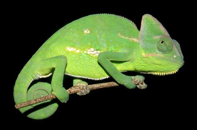 Veiled_Chameleon.jpg