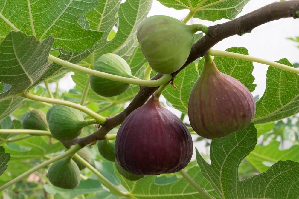 Indoor-fig-tree-5.jpeg