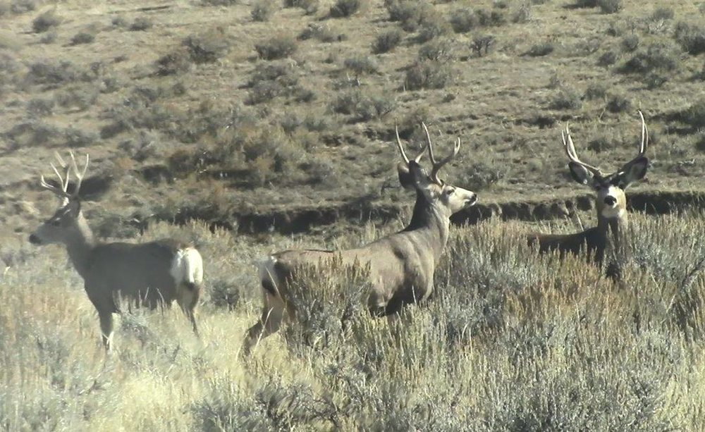 There are a lot more animals than just pronghorn on the plains. These 3 mule deer bucks watched us curiously from less then 100 yards away, on chunk of privately owned, but publicly accessible land enrolled into the Walk In Area program. The rifle season had not yet opened and while alert, did not spook easily, unlikely the already pressured pronghorn