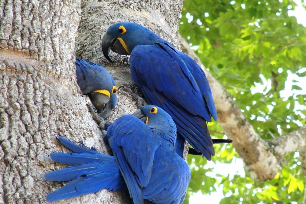 Dünyanın en büyük papağan türü: Hyacint Macaw   Casio Exilim EX-1