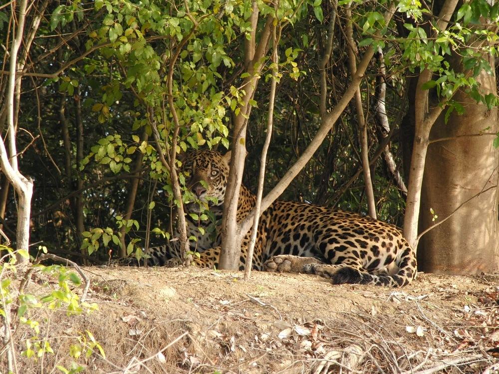 Jaguar - Panthera onca   Casio Exilim EX-1