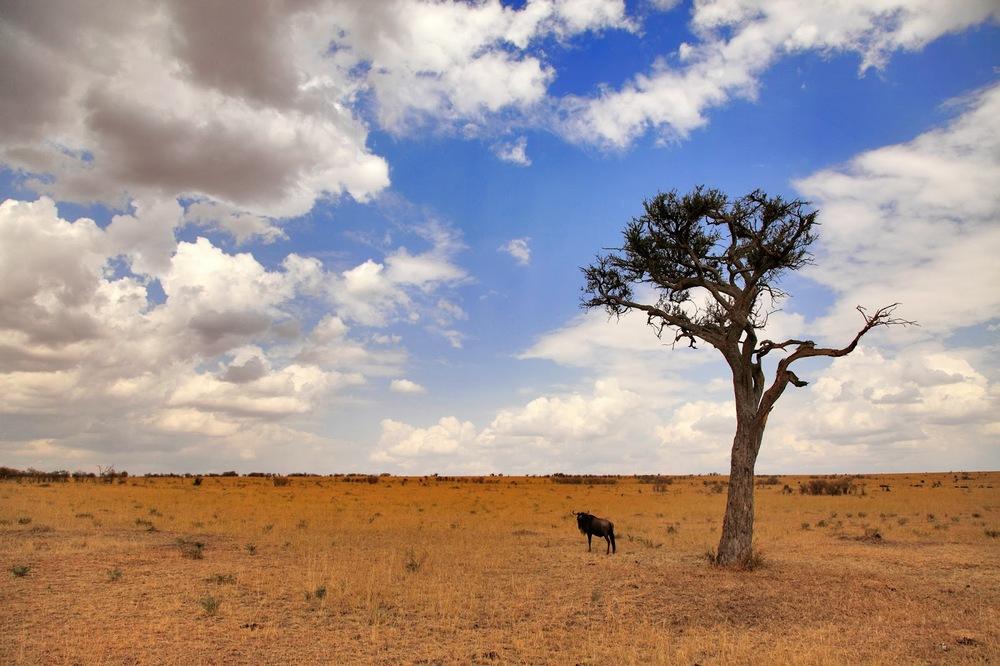 Masai Mara'da bir gnu    Canon 5d Mk II + Canon 24-105mm f4.0