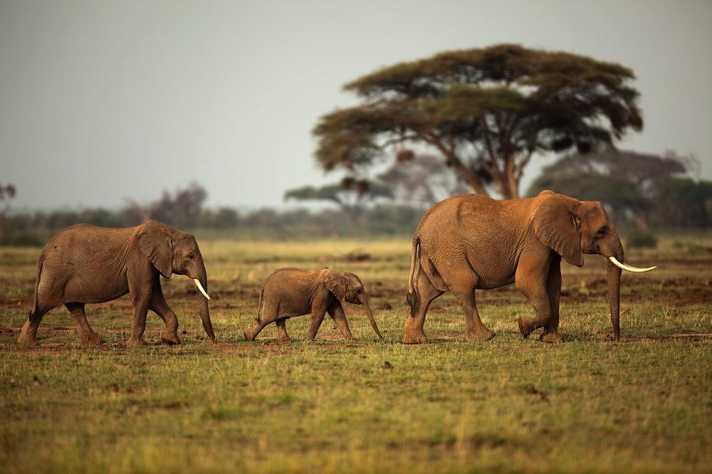 Afrika fili karadaki en büyük memeli   Canon 5dMkII + Canon 400mm f2.8