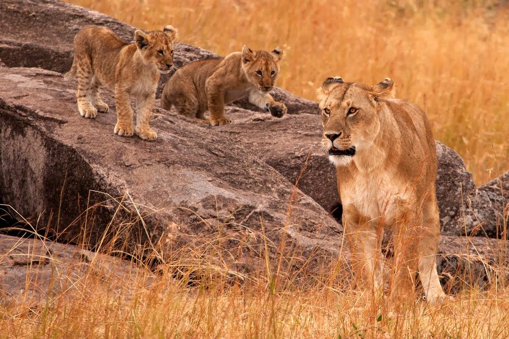 Dişi aslan ve yavruları    Canon 5d MkII + Canon 100-400mm f4.0 - 5.6 IS