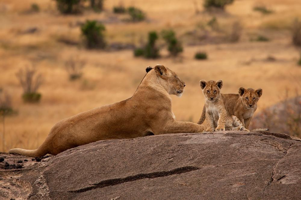 Disi aslan ve yavruları    Canon 5d MkII + Canon 100-400mm f4.0 - 5.6 IS