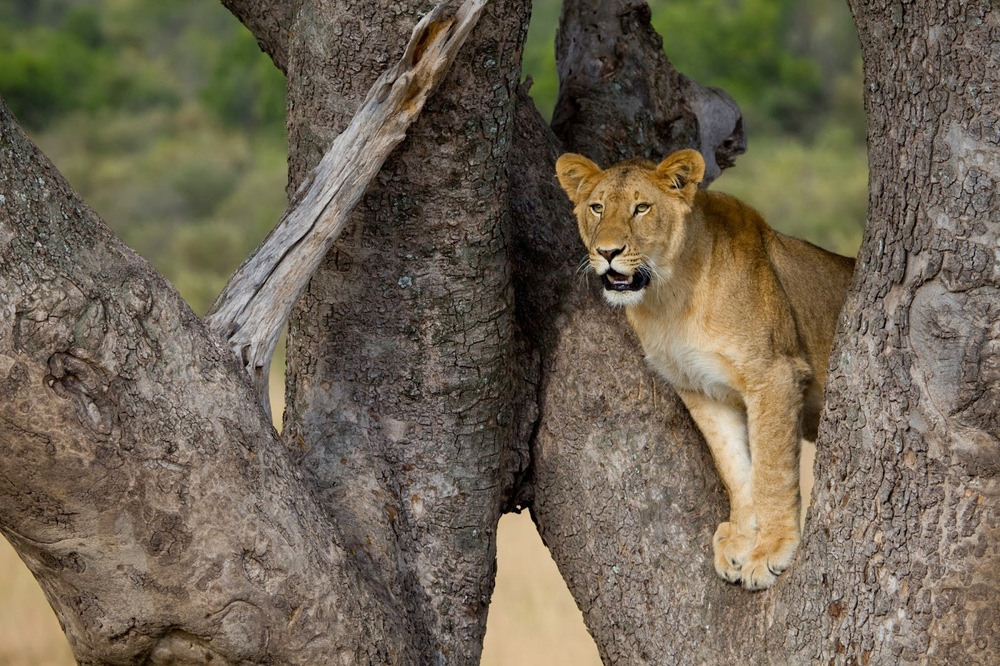 Ağaca tırmanmış genç bir aslan   Canon 5dMkII + Canon 500mm f4.0 IS