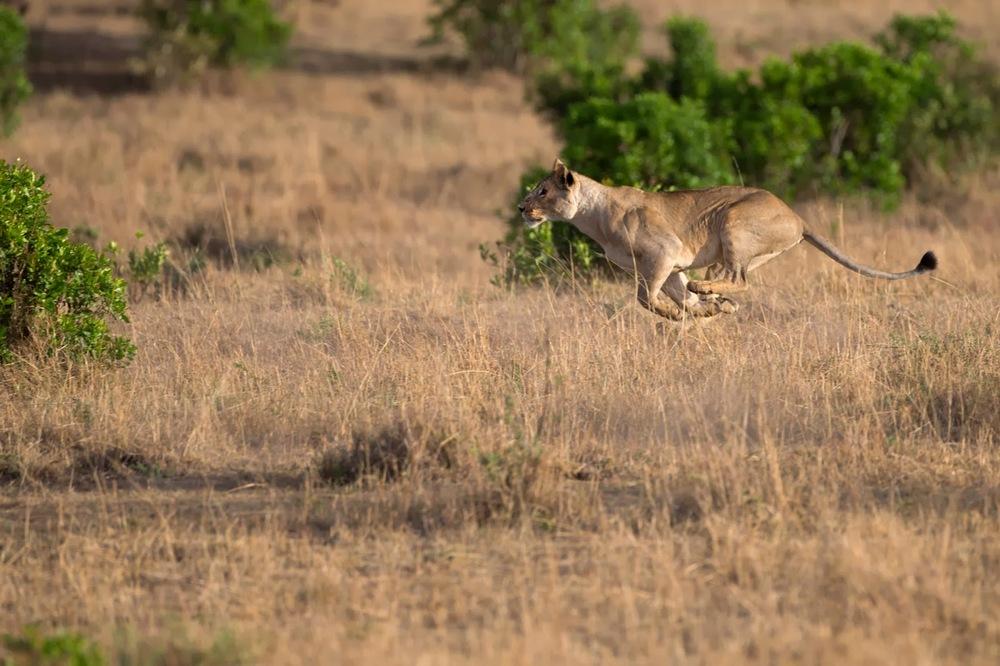 Hedefe kilitlenmiş bir aslan   Canon 1dX + Canon 500mm f4.0 IS