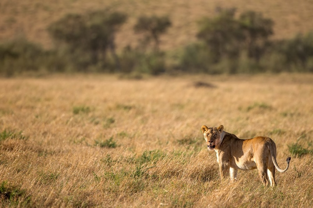 Masai Mara'da bir aslan   Canon 1dX + Canon 500mm f4.0 IS
