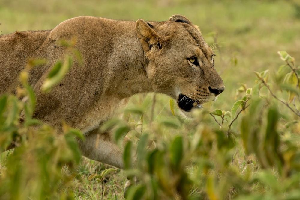 Av hazırlığında disi bir aslan   Canon 1dx + Canon 500mm f4.0 IS