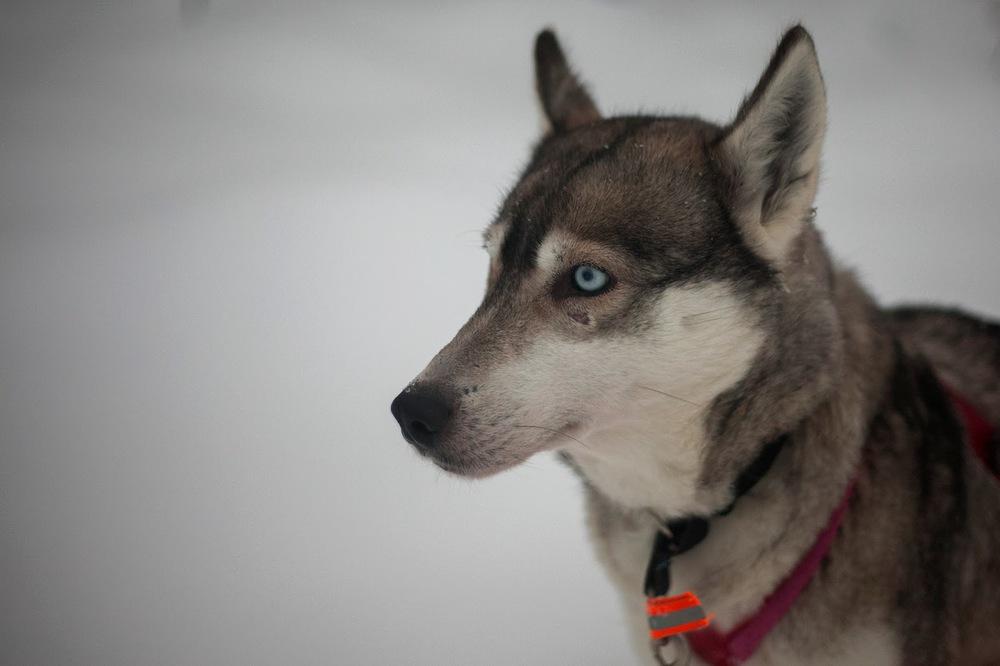 """Kızakları çeken """"husky"""" cinsi köpek   Canon 5dMkII + Ccanon 24-105mm f4.0"""
