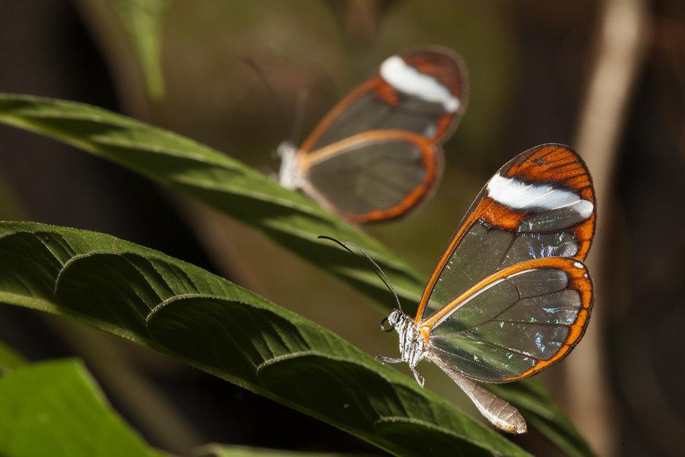 Cam kanatlı kelebekler Kosta Rika doğasının en nadide türlerinden