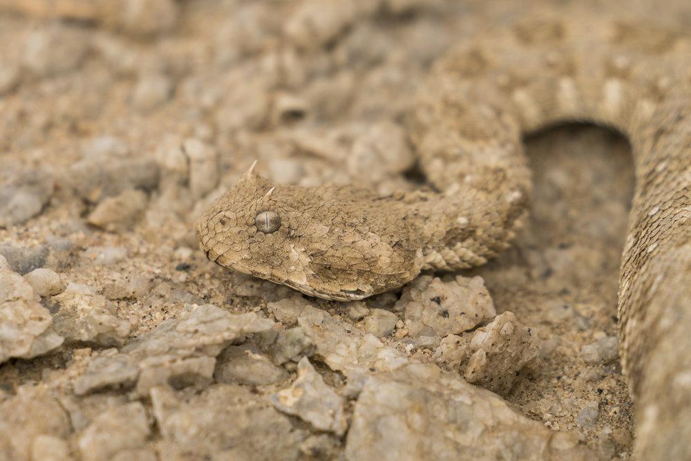 Boynuzlu engerek, Namib Çölü