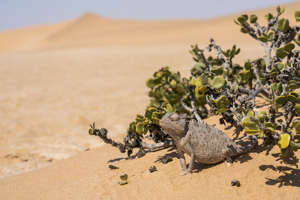 Namaqua bukalemunu, Namib Çölü