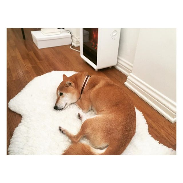 ✨Wohwee enjoying her cozy rug and not waking up this morning ✨