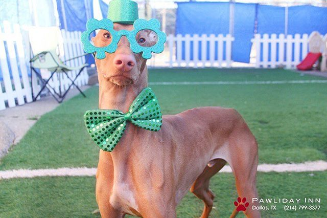 @drogbathedog is ready for St. Patrick's day ☘️☘️ #pawlidaypups