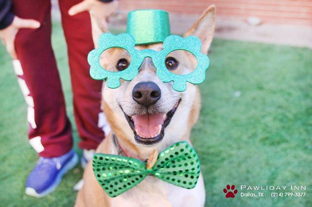 Happy St. Patrick's Day! #pawlidaypups