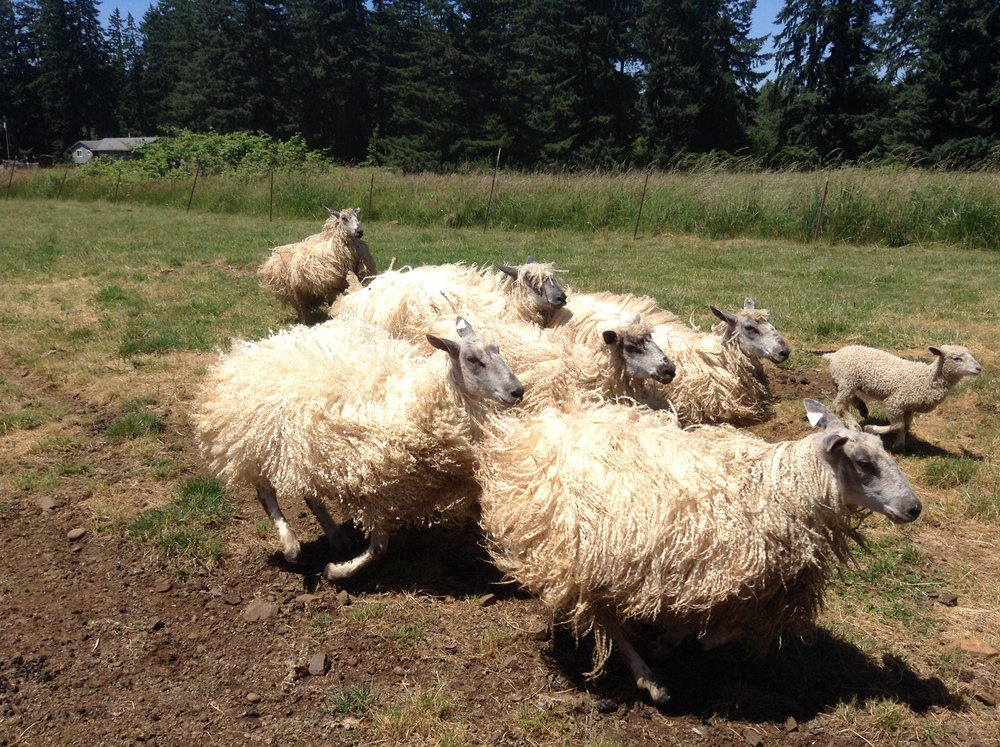 Eventually I'd love a flock of Teeswaters like these gals belonging to Joy Dally in Oregon.