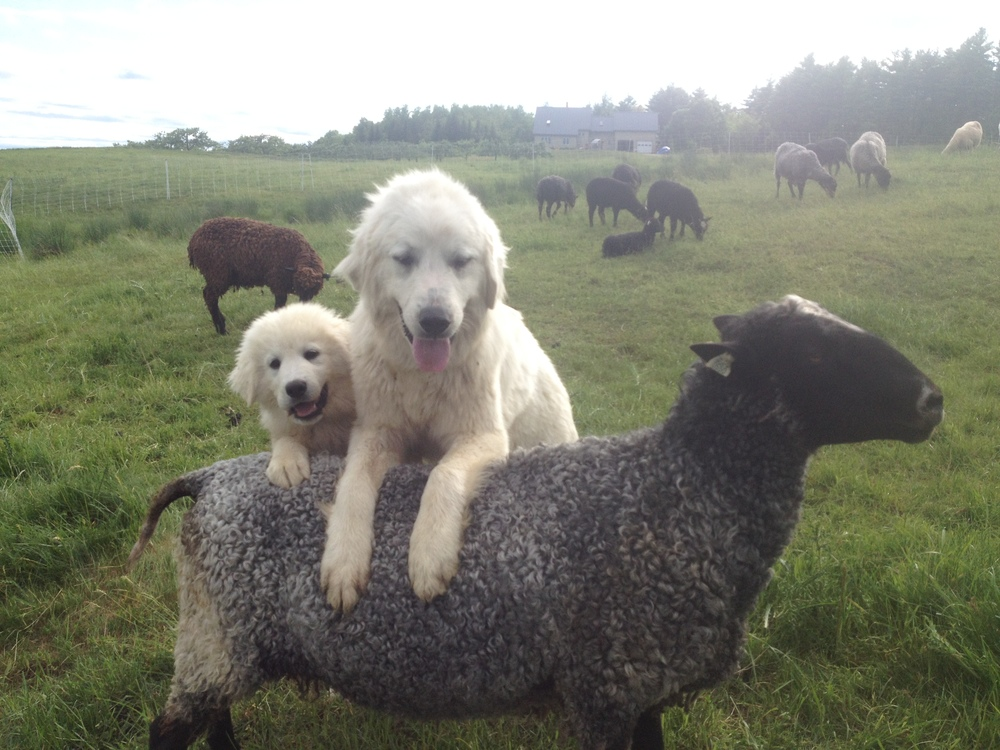Great Pyrenees provide natural predator for the flock.