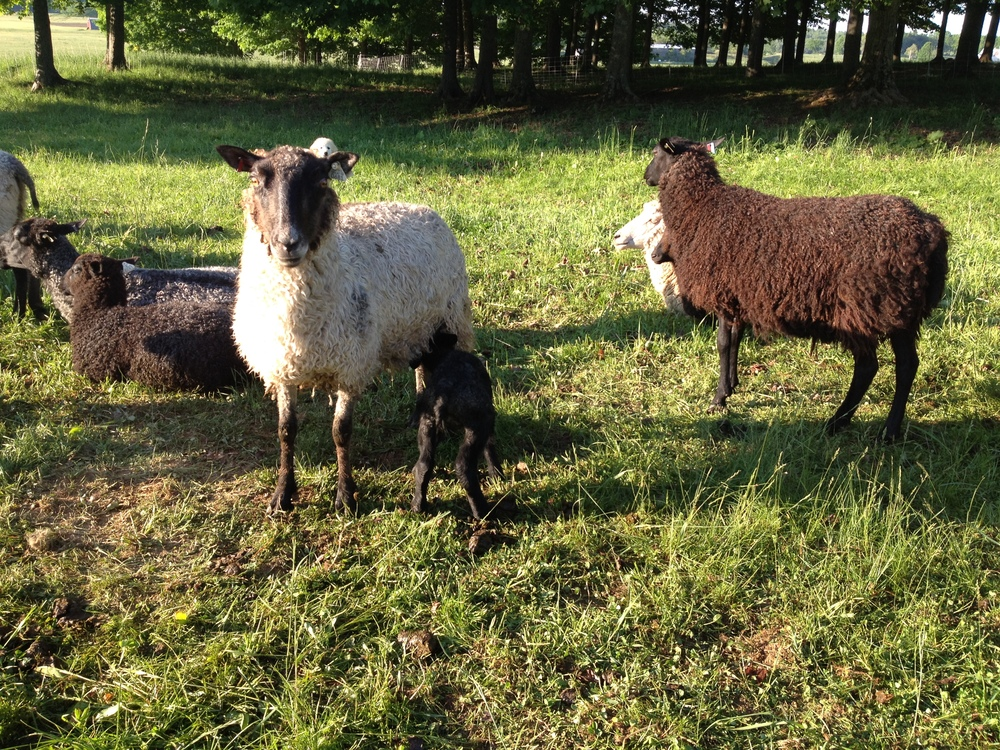 Gotland yearling and her new lamb