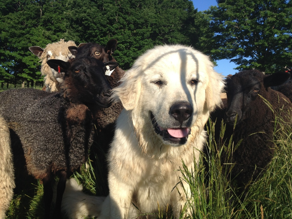 Great Pyreneese and his sheep
