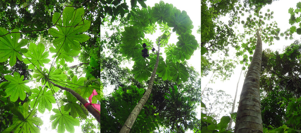 Cecropia trees at different stages of development - sapling, adolecent, and mature.