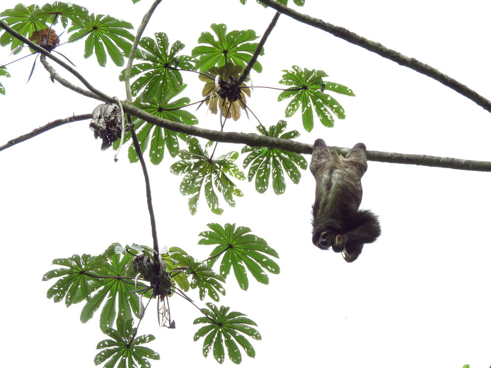 A three-toed sloth being deterred by aggressive ants in a mature Cecropia tree.