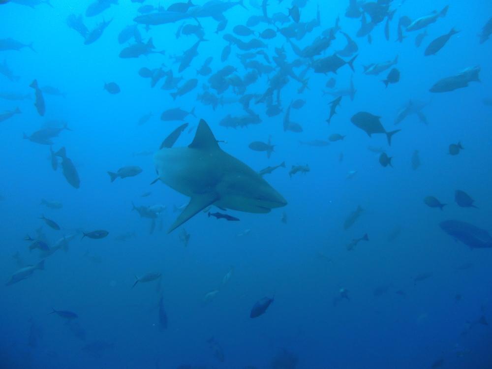 Bull shark in Beqa Lagoon, Fiji