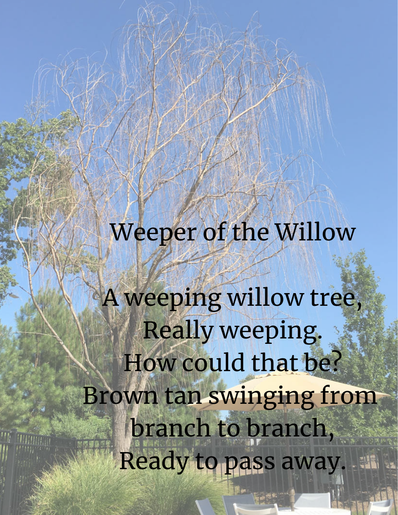 Weeper of the Willow A weeping willow tree, Really weeping. How could that be_ Brown tan swinging from branch to branch, Ready to pass away..png