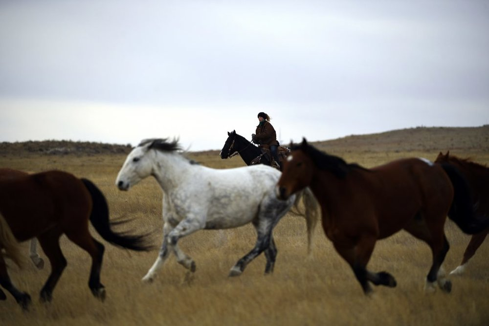 Horses being moved to pasture by ranch hand Bryndel Burke, 12, after being sorted for the National Western Stock Show at the Cervi Ranch Dec. 13, 2016 near Sterling, Colorado. The Cervi Rodeo Company provides superior bucking stock for the NWSS, the National Finals Rodeo and rodeos throughout the country. (Joe Amon, The Denver Post)