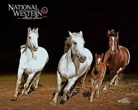 Cervi horses at the National Western Stock Showrodeo, photo by Greg Westfall .