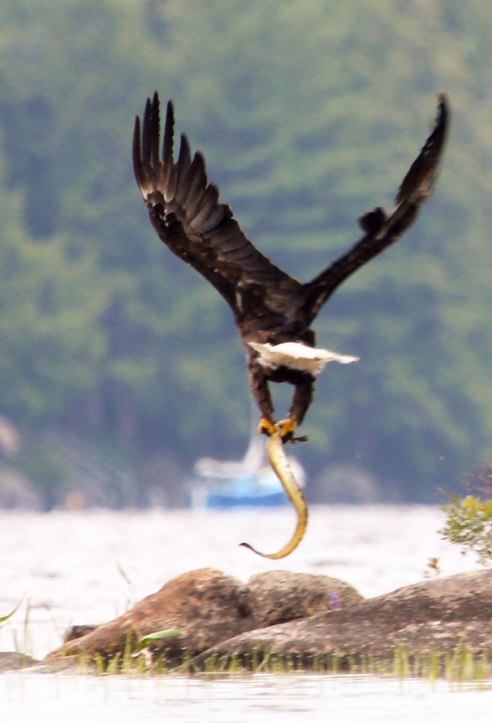 Bye-bye, Mr. Eagle!