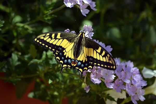 butterfly-wings-mc.jpg