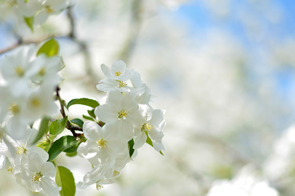white-flowers-branch-mc.jpg