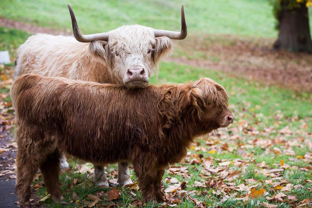 hedor_house_highland_cattle_photography-1.jpg