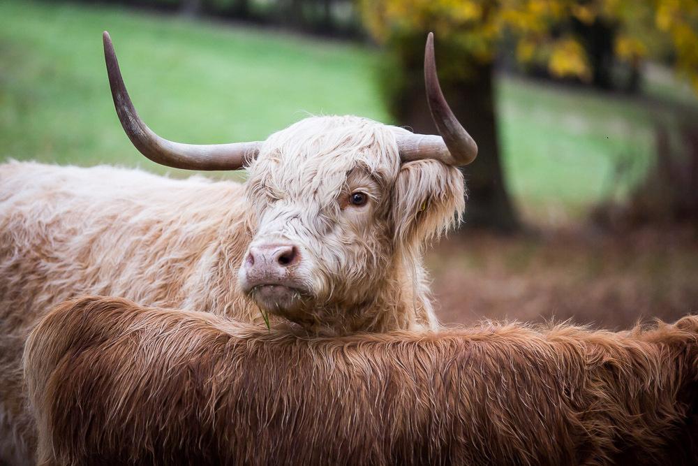 hedor_house_highland_cattle_photography-2.jpg