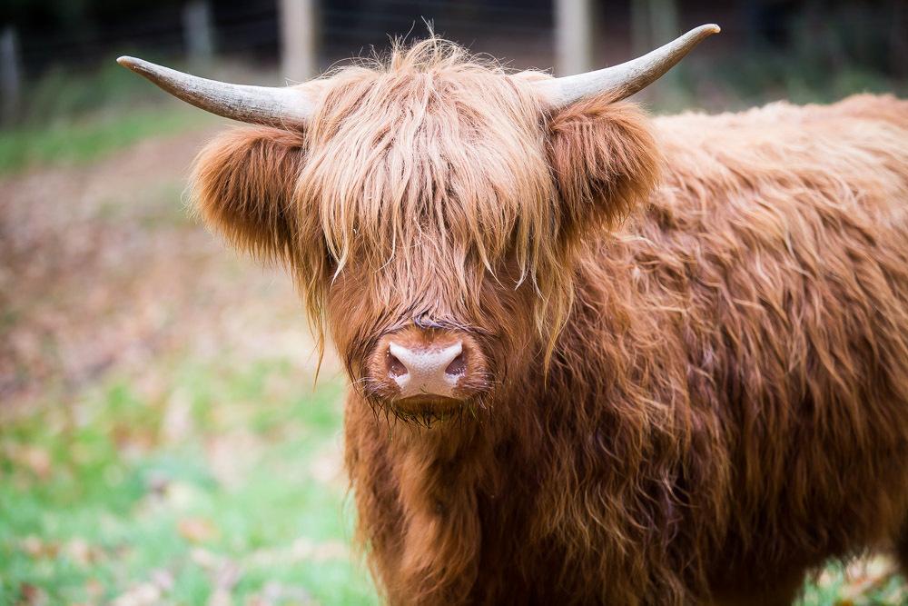 hedor_house_highland_cattle_photography-5.jpg