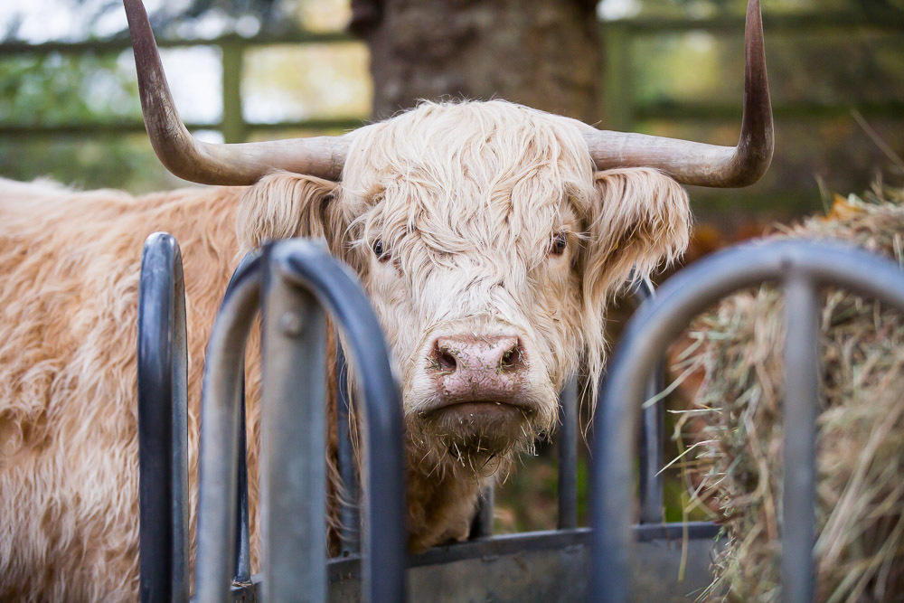 hedor_house_highland_cattle_photography-8.jpg