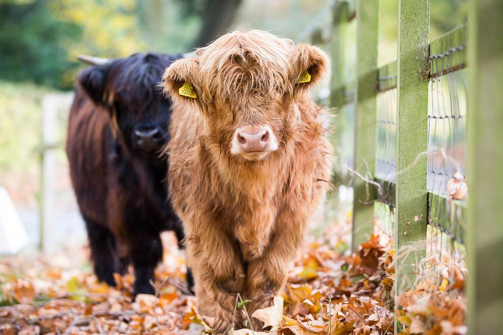hedor_house_highland_cattle_photography-9.jpg