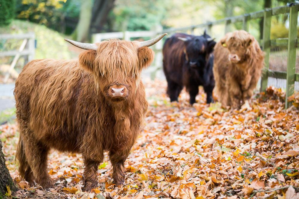 hedor_house_highland_cattle_photography-10.jpg