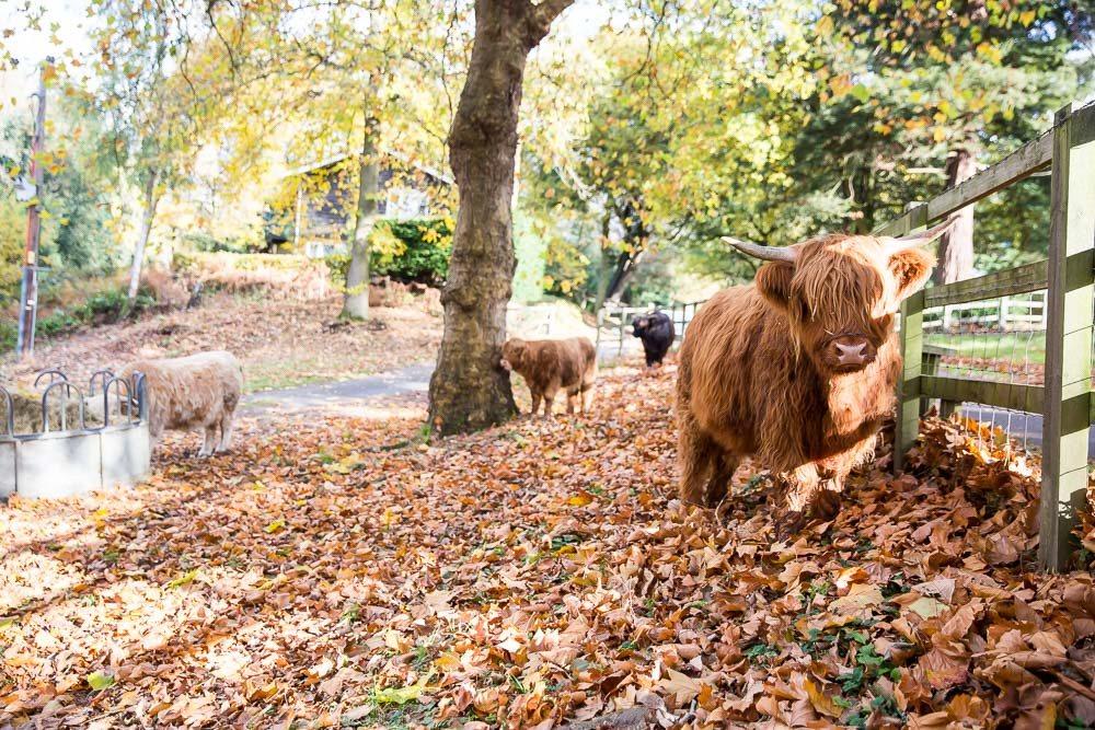 hedor_house_highland_cattle_photography-12.jpg