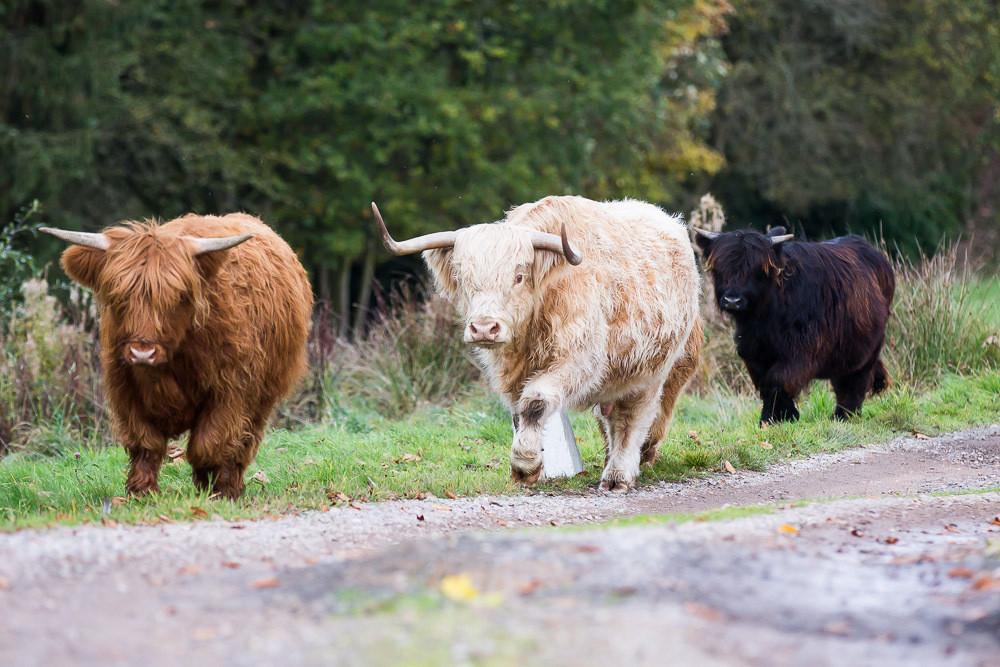hedor_house_highland_cattle_photography-13.jpg
