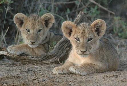 photo credit: Ewaso Lions